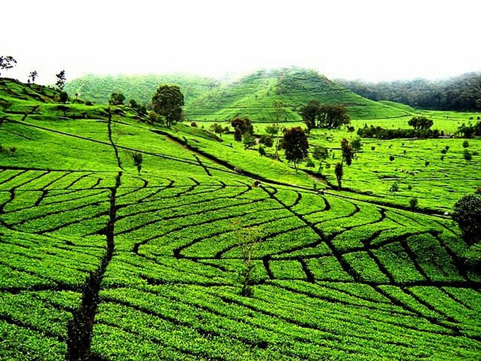 Beautiful tea plantation in Ciwidey Bandung - West Java
